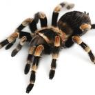 Spiders. I più grandi ragni del mondo