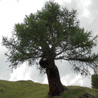 Patriarchi arborei. Il cammino di Andrea Mori alla ricerca delle