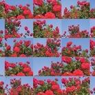 Rose. Roberto Fanari