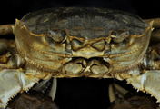 immagine di Rotor,  What's Eating the Chinese Mitten Crab