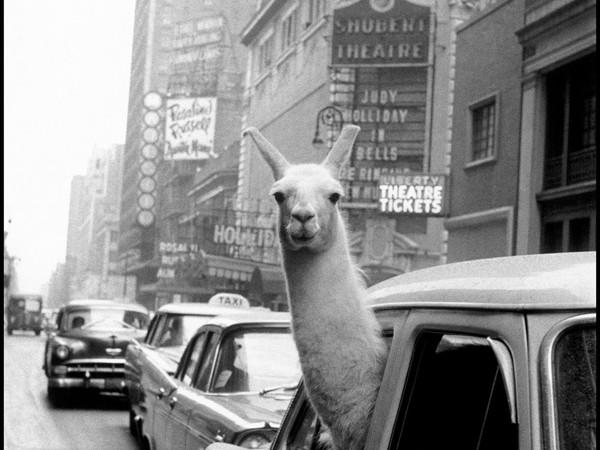 <span>Inge Morath, Un lama a Times Square, New York, 1957</span>
