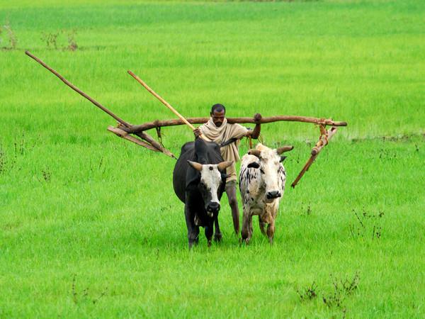 Un contadino con l'aratro nei pressi di Gondar (di Caluma)
