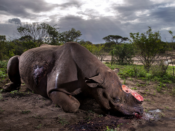 <em>Wildlife Photographer of the Year, Memorial to a species</em> | © Brent Stirton