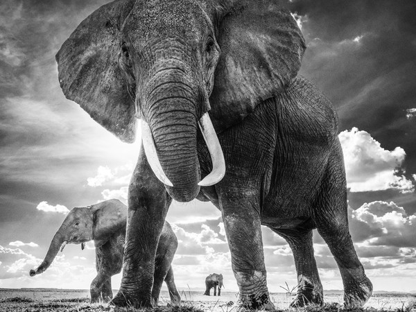 David Yarrow, Elephant, The Untouchables, Amboseli 2017