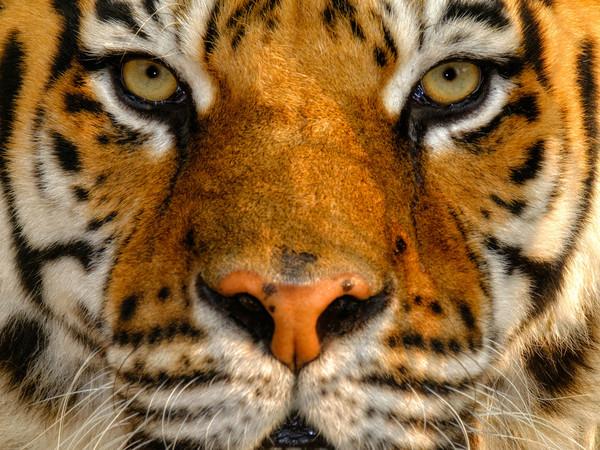 Simone Sbaraglia, Tigre del Bengala, 2016