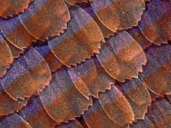 Massimo Brizzi, Microscaglie di ala di farfalla, ingrandimento al microscopio ottico