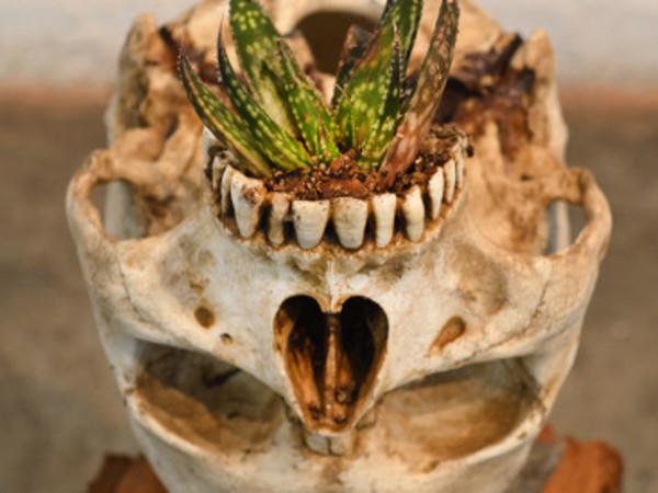 Juan Zamora, Cradle-homo sapiens garden. Installatio, a skull with a plant in its paladar, 30x30x75 cm., 2016