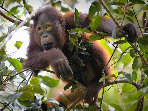 Orango del Borneo (Pongo pygmaeus)