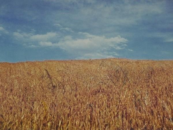 Luigi Ghirri, Campo di grano, anni '70, 100x150 cm