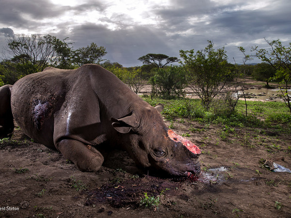 Brent Stirton, Memorial to a species, Wildlife Photographer of the Year