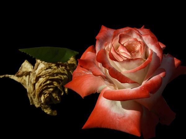 Guido Alimento, Profumo di Rosa
