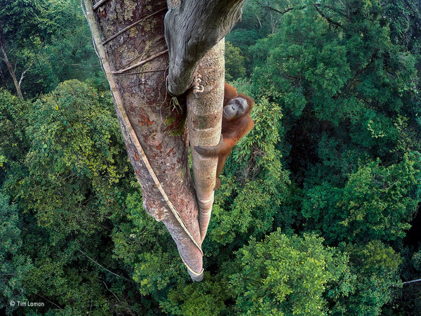 Tim Laman, Vite intrecciate, Borneo. Wildlife Photographer of the Year, Grand Title winner
