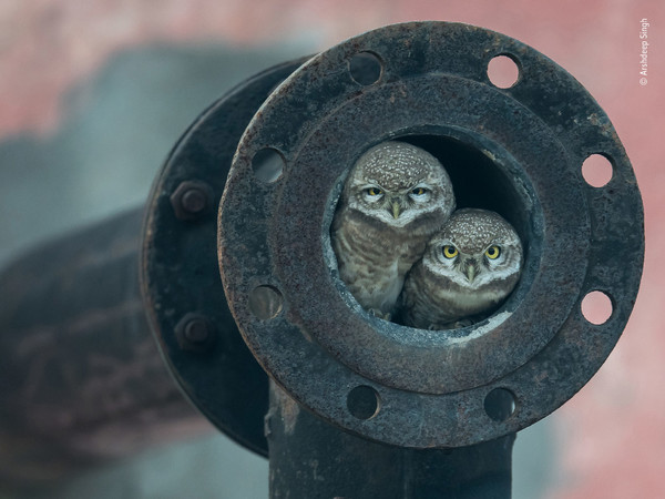 Arshdeep Singh, <em>Pipe owls</em>, <em>Wildlife Photographer of the Year</em>, India Winner 2018, <em>10 Years and Under</em><br />